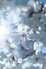 Flowering white magnolia
