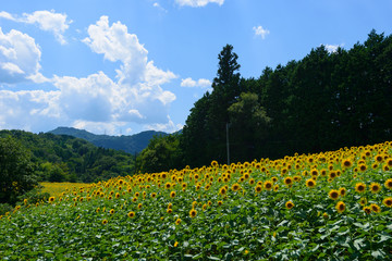 Sunflower field in Anan town, Nagano, Japan
