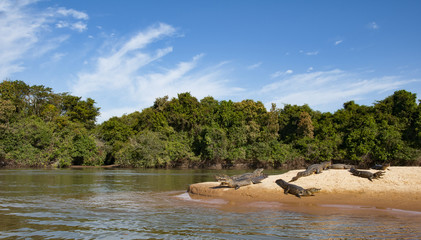 Crocodiles lying lazy on the shore of the Cuiaba river in the Pantanal in Brazil