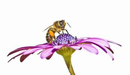 abeja en la flor sobre fondo blanco
