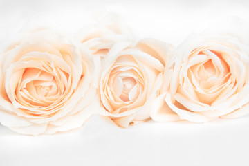 Delicate roses on a white background. Soft focus.