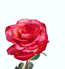 Beautiful red rouse on white background