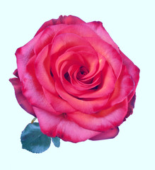 Beautiful red rose on the white background