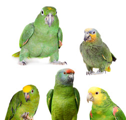 Fototapete - Amazon parrots set isolated on white