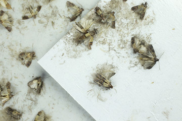 Flour moths