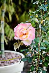 close up rose on garden