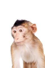 Fotobehang Aap Juvenile Pig-tailed Macaque, Macaca nemestrina, on white