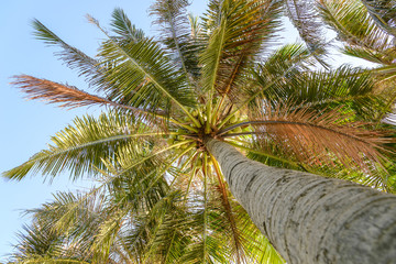 Look up view of palm tree with coconut.