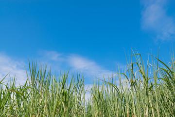 Sugarcane with sky