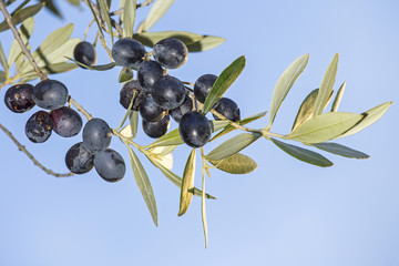 Sprig with mature black olives against the sky