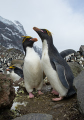 Pair of macaroni penguins standing on the rock, ready to mate, with colony and rocky mountain in background, South Sandwich Islands, Antarctica