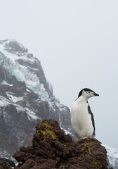 One chinstrap penguin standing on the lava rock, looking at the sea, rocky mountain in the background, South Sandwich Islands, Antarctica