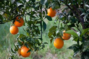 arance appese all'albero