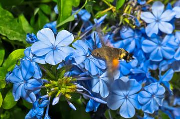 Sfinge del galio tra i fiori