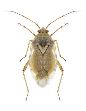 Bug Lygus pratensis