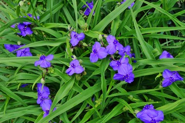 Purple blue spiderwort tradescantia flowers (trillium)