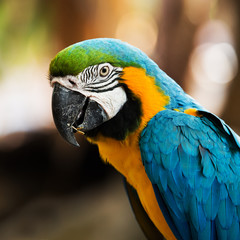 Blue-and-yellow macaw[Ara ararauna] sitting on log