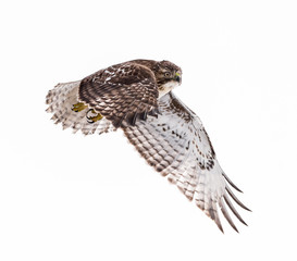 Red-Tailed Hawk in Flight, Isolated
