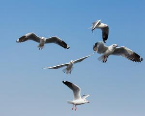 flying seagulls in action at Bangpoo Thailand