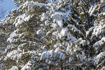 The winter landscape. The trees in the snow.