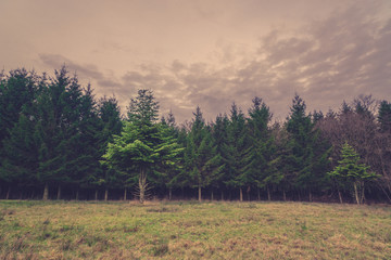 Pine trees on a field in the fall