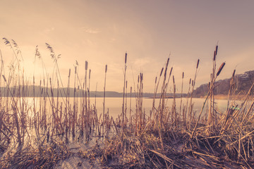 Reeds in a frozen lake in the sunset