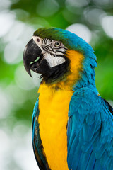 Blue-and-yellow macaw[Ara ararauna] sitting on log