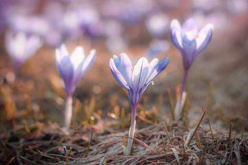 View of close-up magic spring flowers crocus in sunlight.