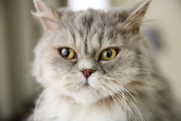 Grey cat in the room, closeup