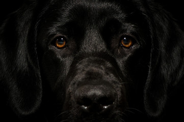 Black labrador smart face looking straight