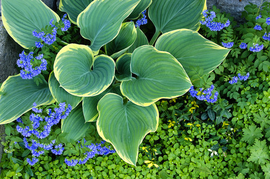 Hosta with Ground cover