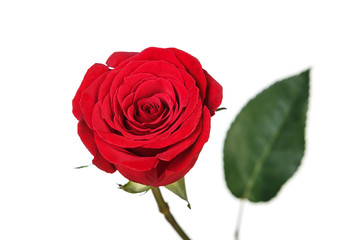 Saturated red perfect rose