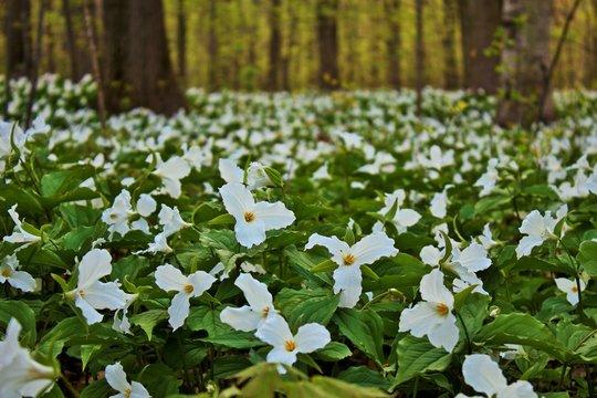 Wild Spring Trillium. A carpet of white trillium blankets the northern forest floor. Lakeport State Park. Lakeport, Michigan.