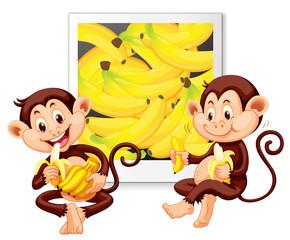 Two monkeys eating bananas