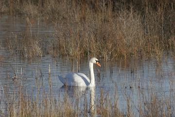 Photo Stands Swan Zwaan in duinmeer