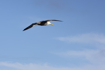 Flying albatross with ring.