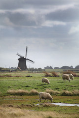 Poster Sheep Schapen in Hollands landschap met molen