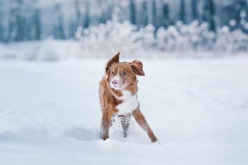Dog Nova Scotia Duck Tolling Retriever  walking in winter park