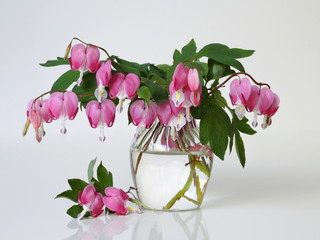 Bouquet of pink bleeding heart flowers in a vase on a white background. Romantic floral still life with pink flowers. Lamprocapnos Dicentra spectabilis, bleeding heart, lyre flower.