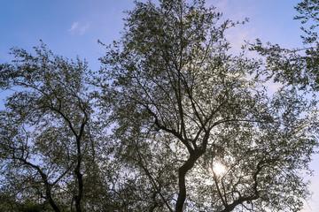 Olivenbaum im Gegenlicht