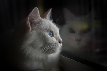 Turkish Angora cat looking out of windows