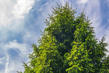 Top view green fir tree against blue cloudy sky