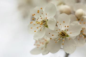 Flowering plum, cherry closeup