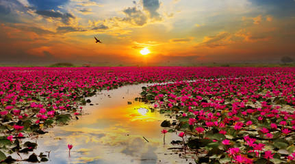 Fotorolgordijn Lotusbloem Sunshine rising lotus flower in Thailand