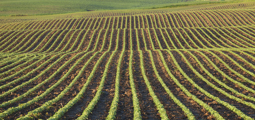 Rows of young soybean plants in morning light