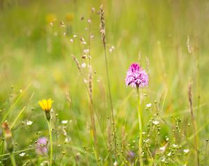 Marsh Orchid in Summer Meadow (dactylorhiza majalis)