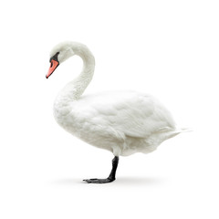 white swan isolated on white in high key