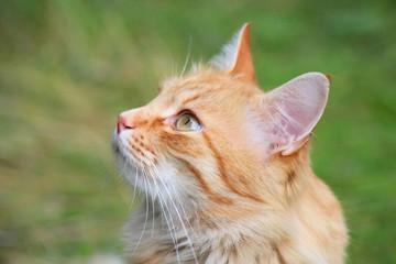 Рыжий кот в саду