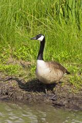 Goose standing near a pond