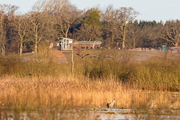 Flying Cranes at Lake Hornborgasjon in spring